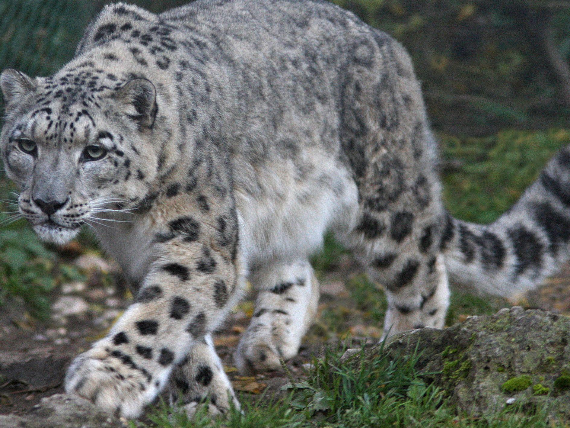 Der Schneeleopard gehört zu den nachtaktiven Bewohnern des Salzburger Zoos.