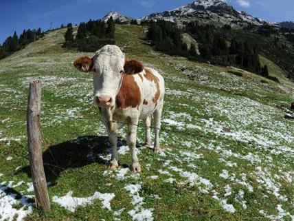 In Kärnten fiel eine Jungkuh in eine Jauchegrube.