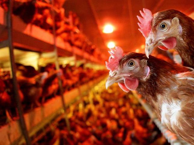 Analysesoftware soll Wohlbefinden von Hühnern ermitteln.