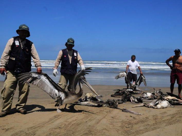 Tausende Pelikane und hunderte Delfine verendet - Ministeriumsmitarbeiter im Rettungseinsatz.
