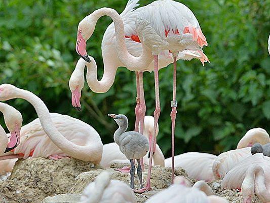 Noch sind sie grau: Die Baby-Flamingos in Schönbrunn