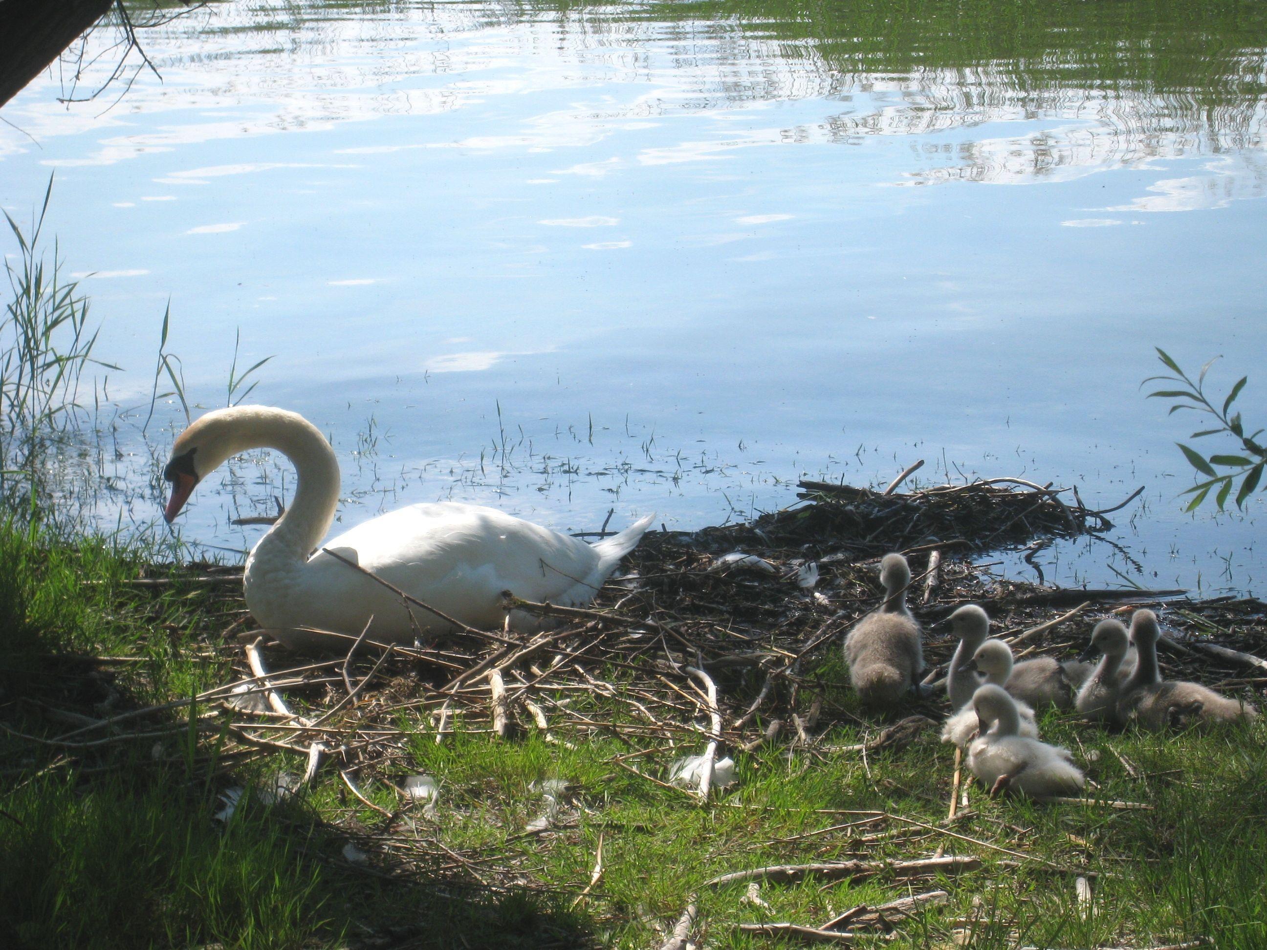 Gleich sechsfachen Nachwuchs hat diese Schwanenfamilie am Hörbranzer Bodenseeufer.