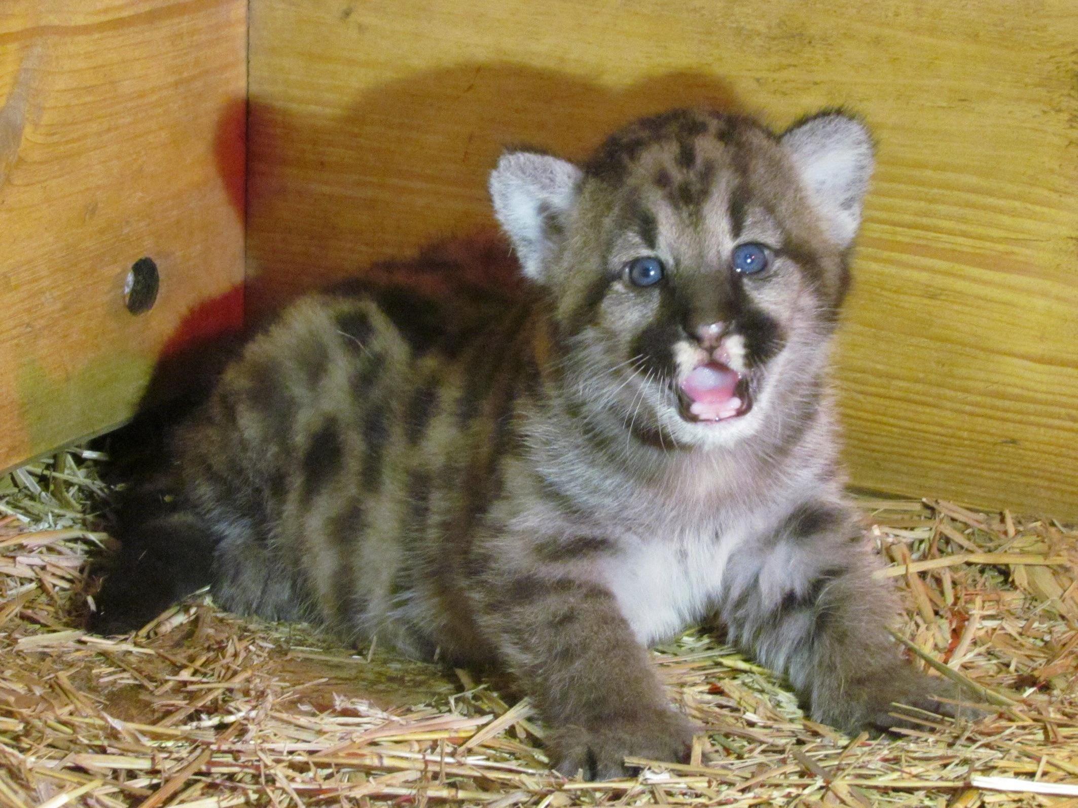 Neben dem entzückenden Puma-Mädchen kann man im Salzburger Zoo momentan auch Fischotter- und Steinbock-Nachwuchs beobachten.