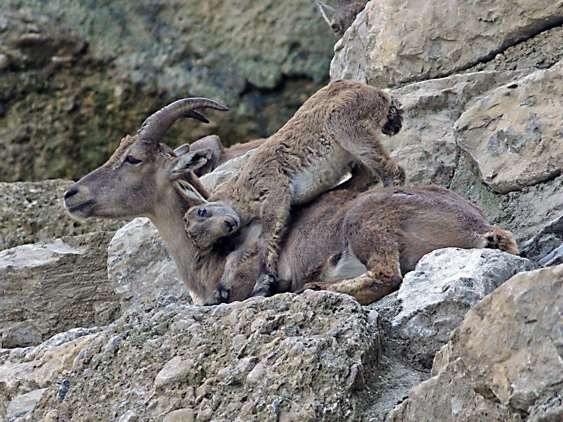 Gleich fünf Steinkitze sind derzeit im Zoo Salzburg zu sehen.