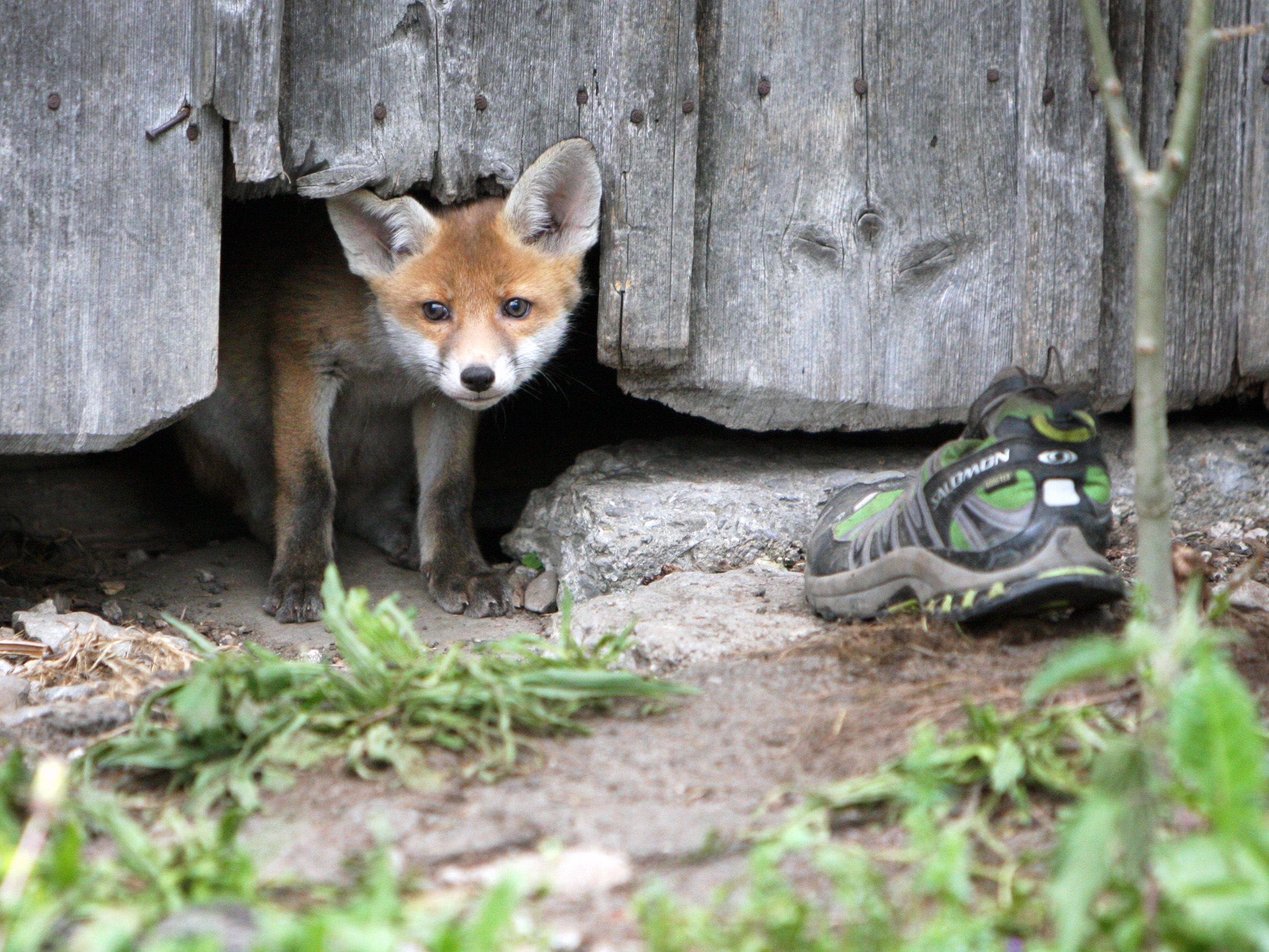 Die jungen Füchse haben es ganz besonders auf Schuhe abgesehen.
