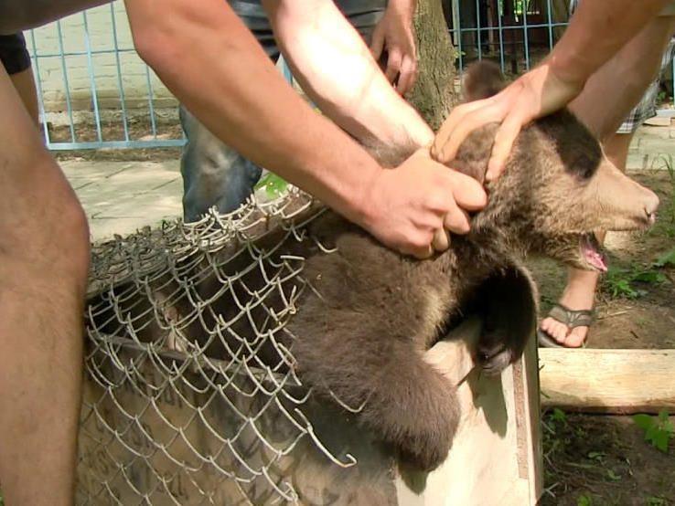 Das vier Monate alte Braunbär-Weibchen Nastia wurde im Mai 2012 seiner Mutter weggenommen, in eine kleine Transportkiste gesteckt und an einen Tierhändler verkauft.