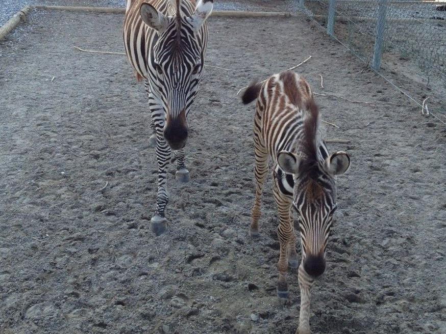 """""""Die kleinen Freuden des Lebens"""": Zebrafohlen im Doppelmayr Zoo"""