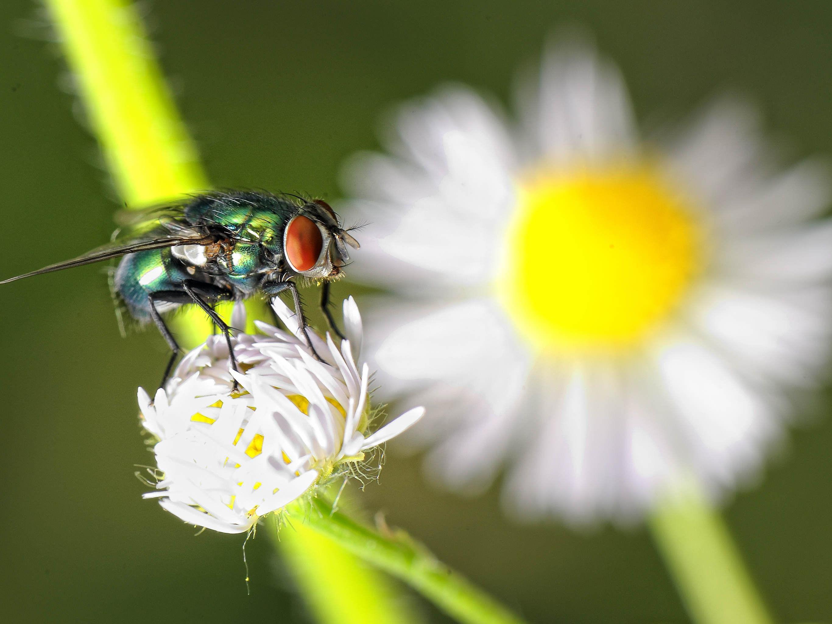 Grellfarben, flink und für Menschen oft unangenehm: Die Schmeißfliegen treten heuer massiv auf.