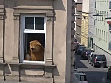 Ein Leserreporter von VIENNA.AT entdeckte den Gürtelbären als einer der ersten