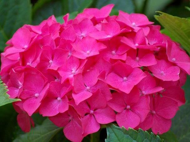 Hortensien lieben schattige oder halbschattige Standorte