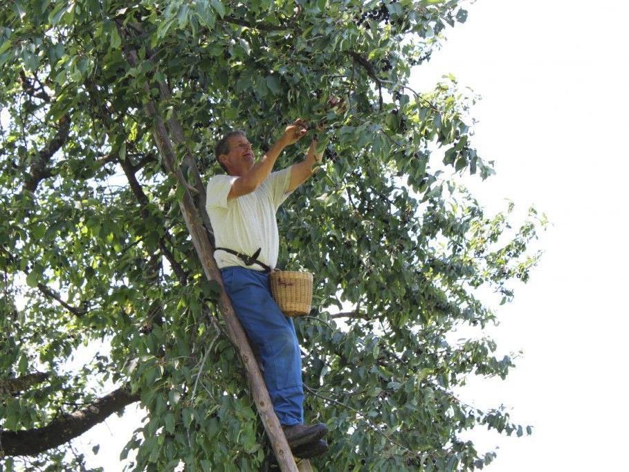 """Nicht ungefährlich: Julius Mittelberger auf einem seiner 200 Kirschenbäume beim """"Kriasi Gwinna""""."""