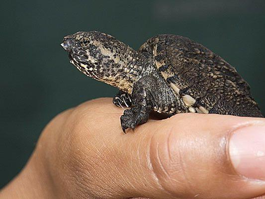 Diese niedliche kleine Schnappschildkröte wurde in Schönbrunn geboren