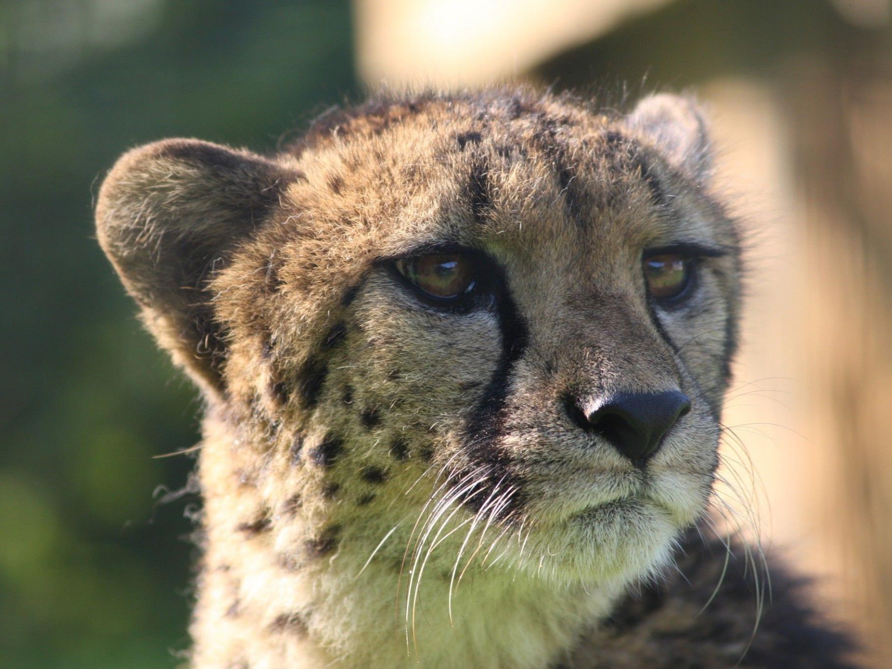 Gepardin Njika hat den Zoo Salzburg vorübergehend verlassen.