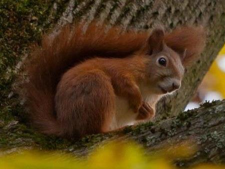 """Eichhörnchen mit """"Aggressionsproblemen"""" treibt in Saarland sein Unwesen."""