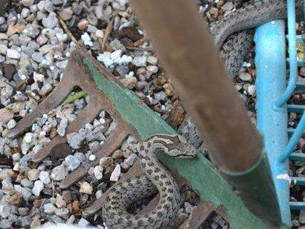 Diese Schlange wurde von der Freiwilligen Feuerwehr eingefangen.