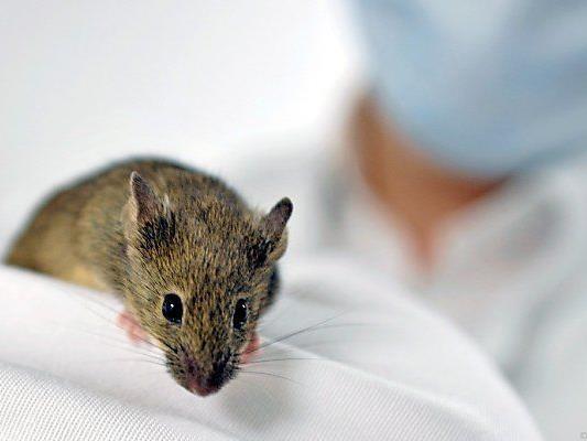 Die Zahl der Tierversuche steigt in Österreich.