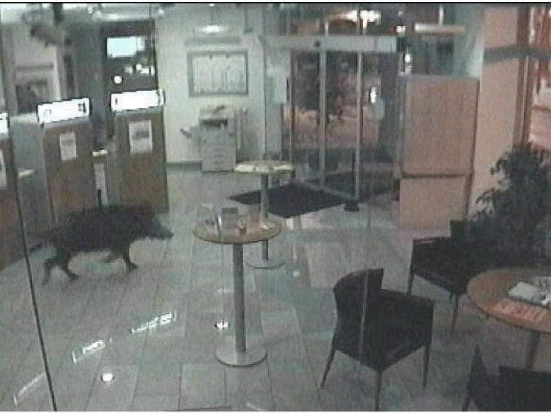 Das Bild aus der Überwachungskamera der Raiffeisen-Filiale Hainburg an der Donau zeigt jenes Wildschwein, das es geschafft hatte, in das Foyer der Bank einzudringen.