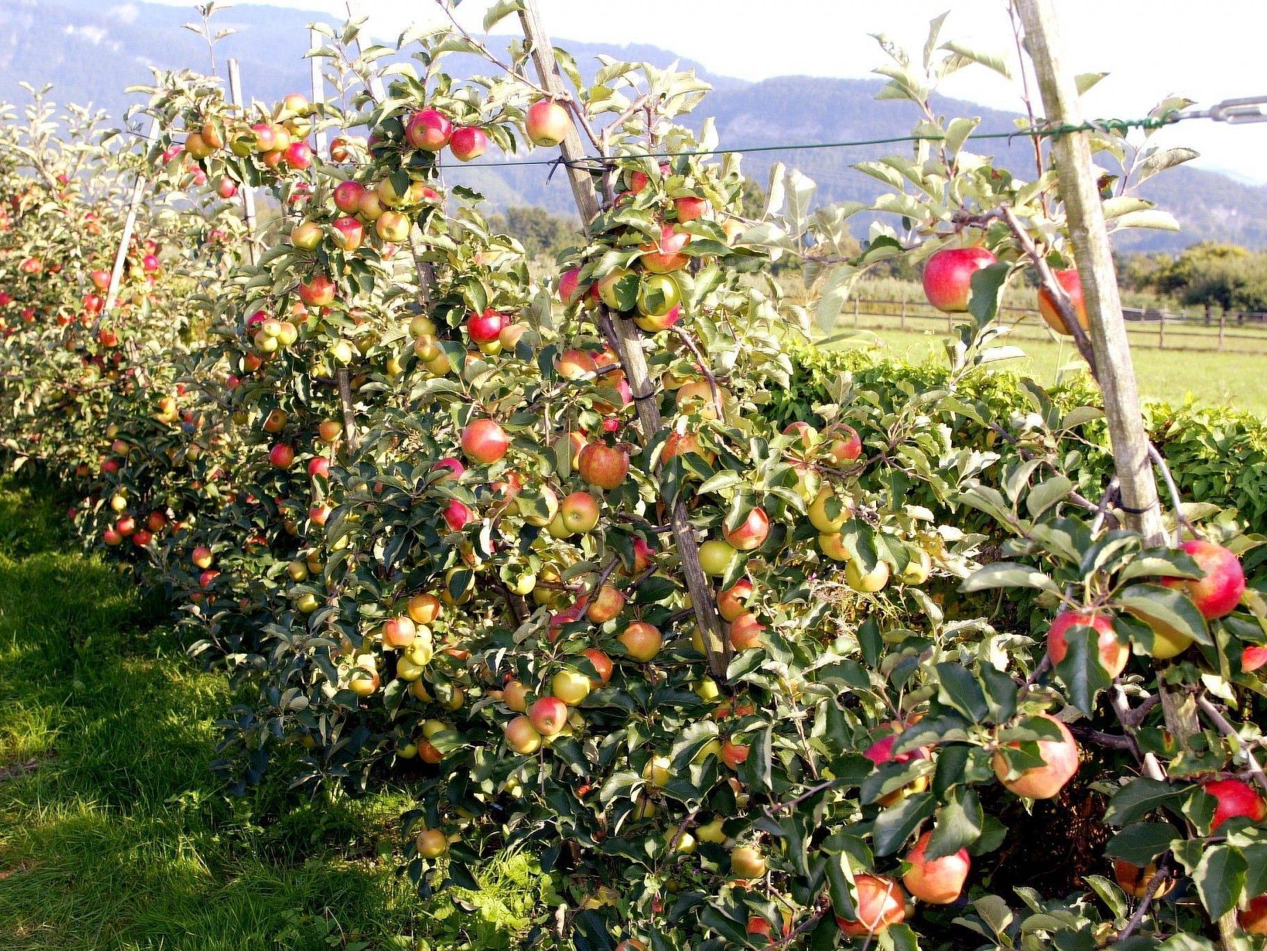 Bisher war das Jahr 2012 eine Herausforderung für Vorarlbergs Obstbauern.