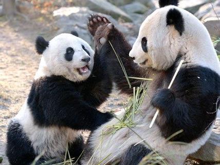 Fu Hu hat Geburtstag: Im Tiergarten Schönbrunn wird gefeiert