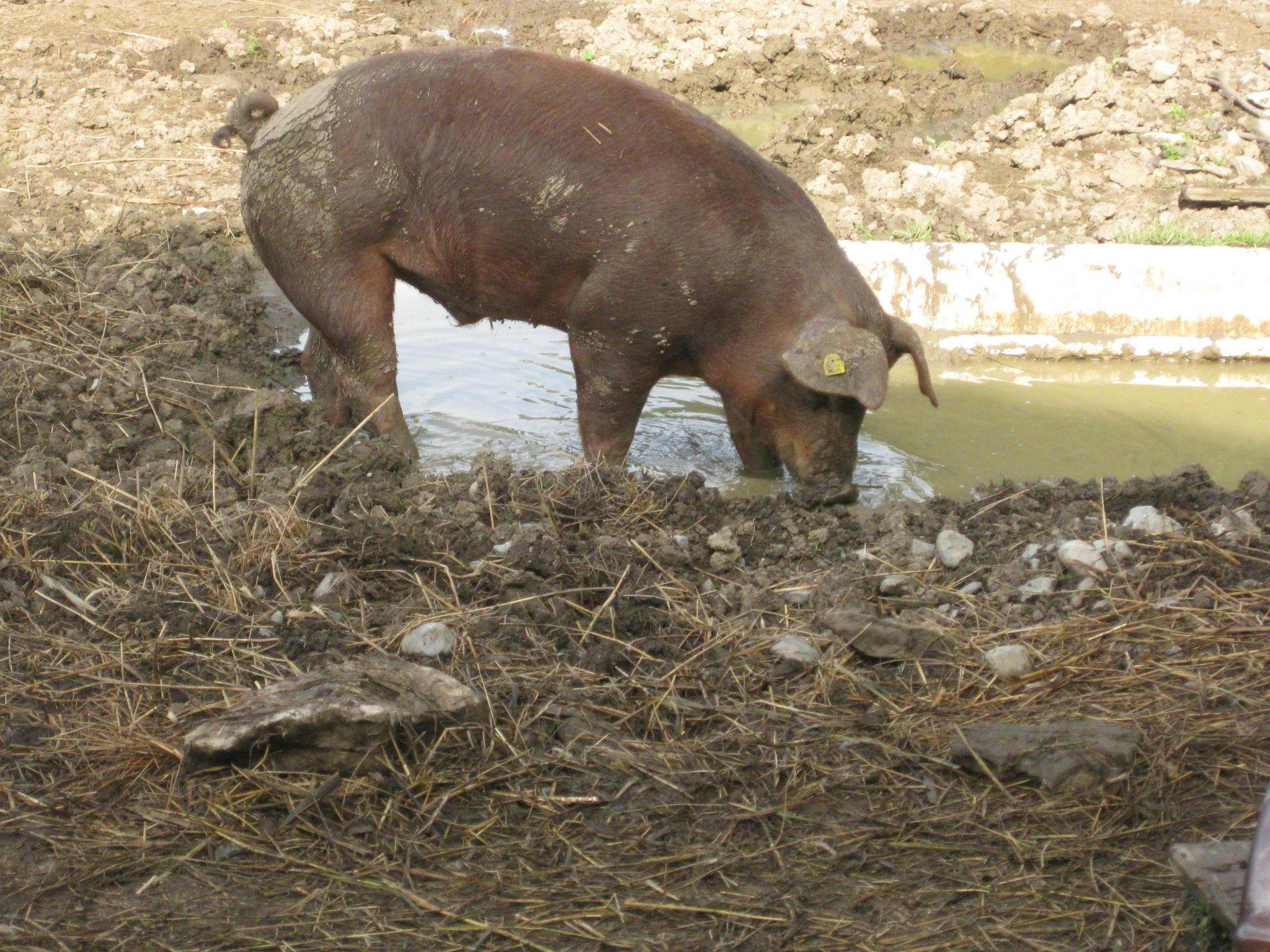 Auch eine Bademöglichkeit steht den Schweinen jederzeit zur Verfügung