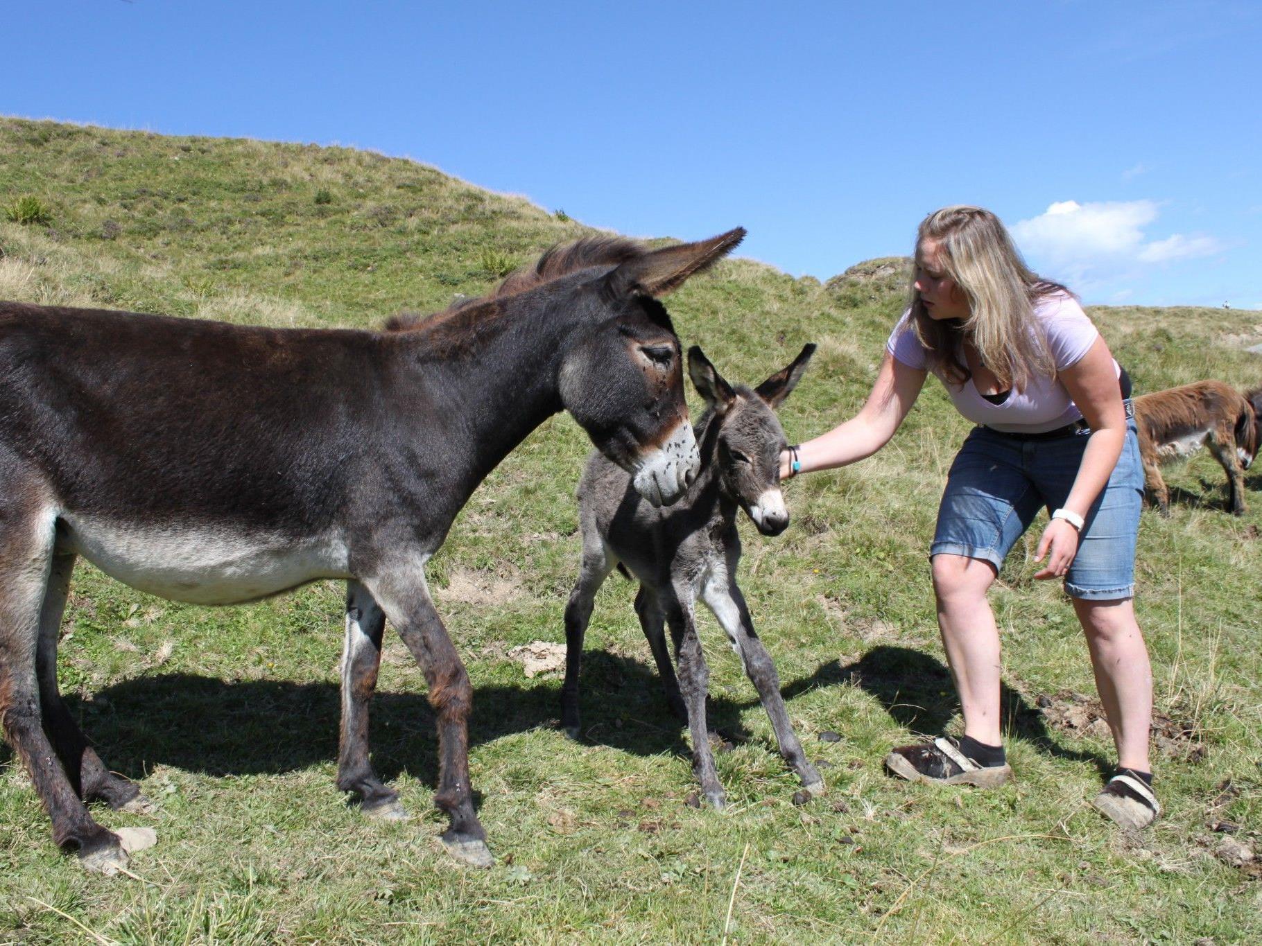 """Alpwirtin Anja Cäser kümmert sich um das wenige Stunden alte Eselfohlen """"Winnie"""" und dessen Mutter."""