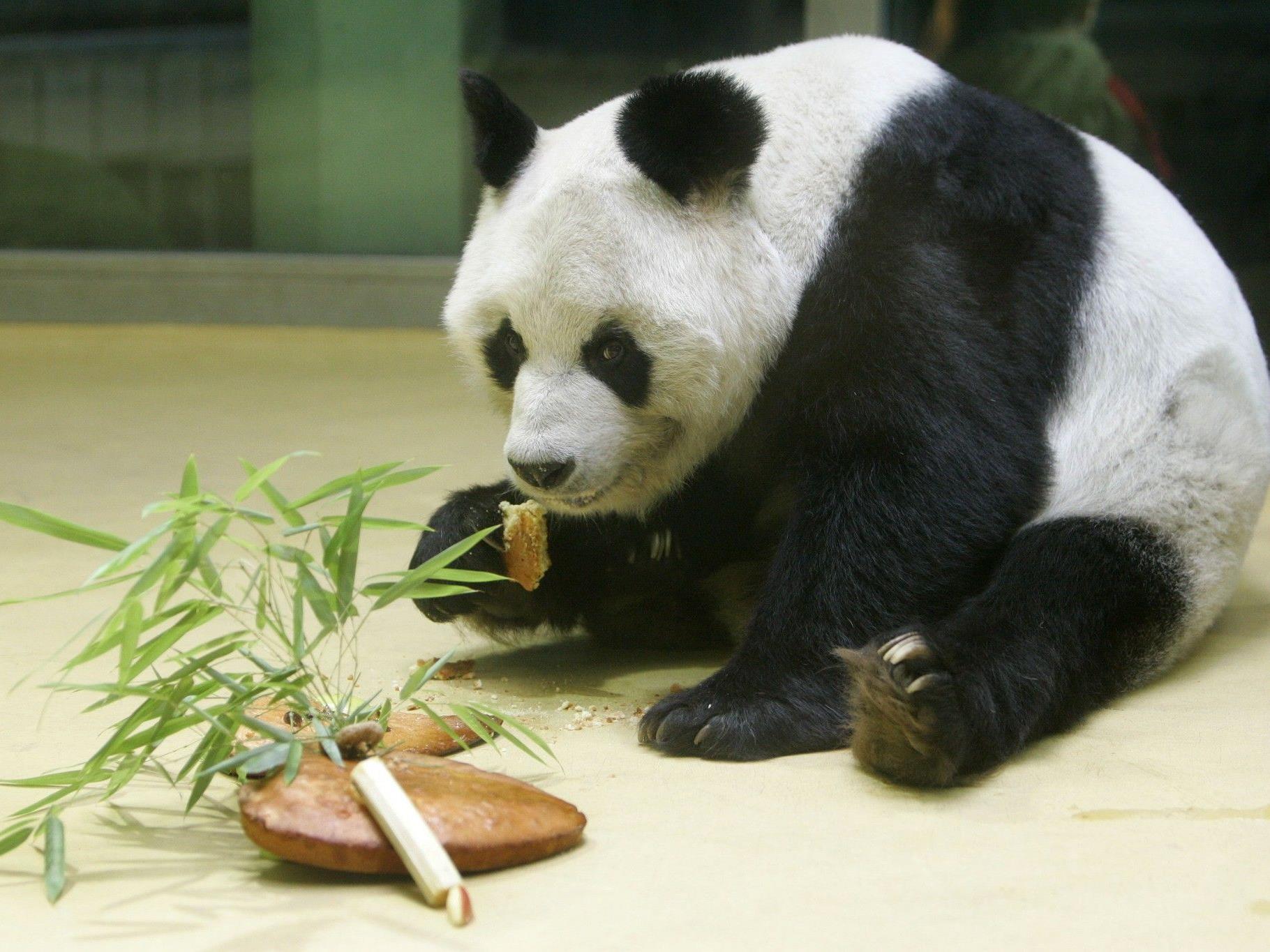 Bao Bao kam 1980 als Staatsgeschenk Chinas nach Deutschland.