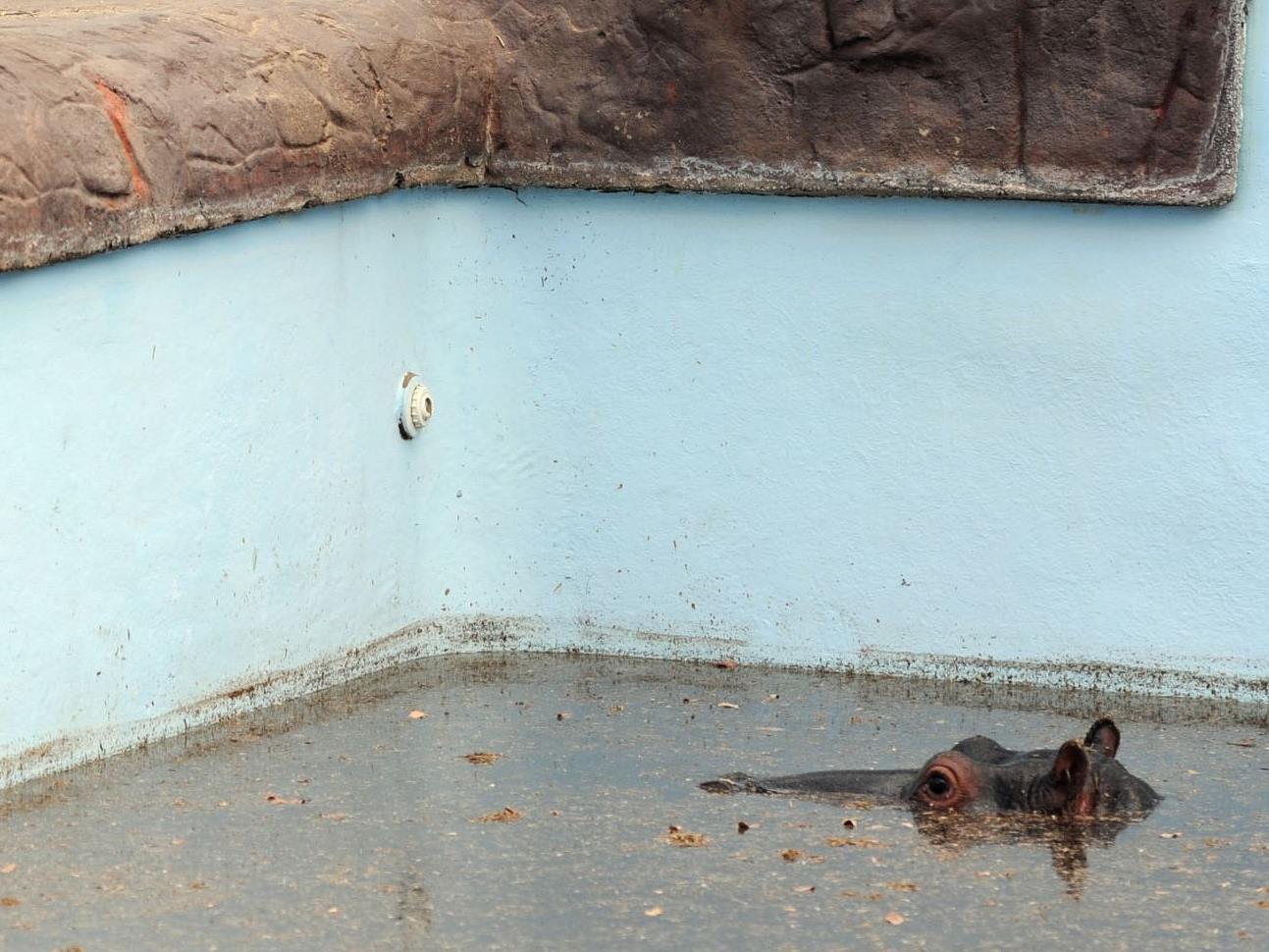 Das junge Nilpferd am Donnerstag, einen Tag, bevor es sein Leben ließ.