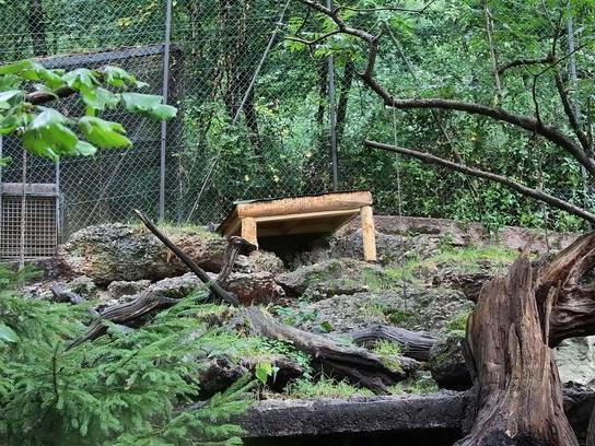 Im Elektrozaun des Luchs-Geheges war kein Strom - so konnte der Luchs am Sonntag aus dem Salzburger Zoo fliehen.