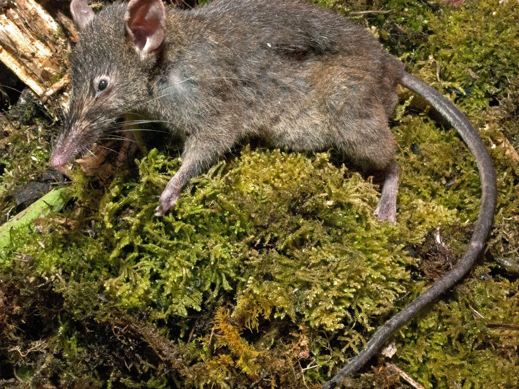 Erste und einzige Ratte von mehr als 2.200 Nagetierarten, die keine Backenzähne hat.