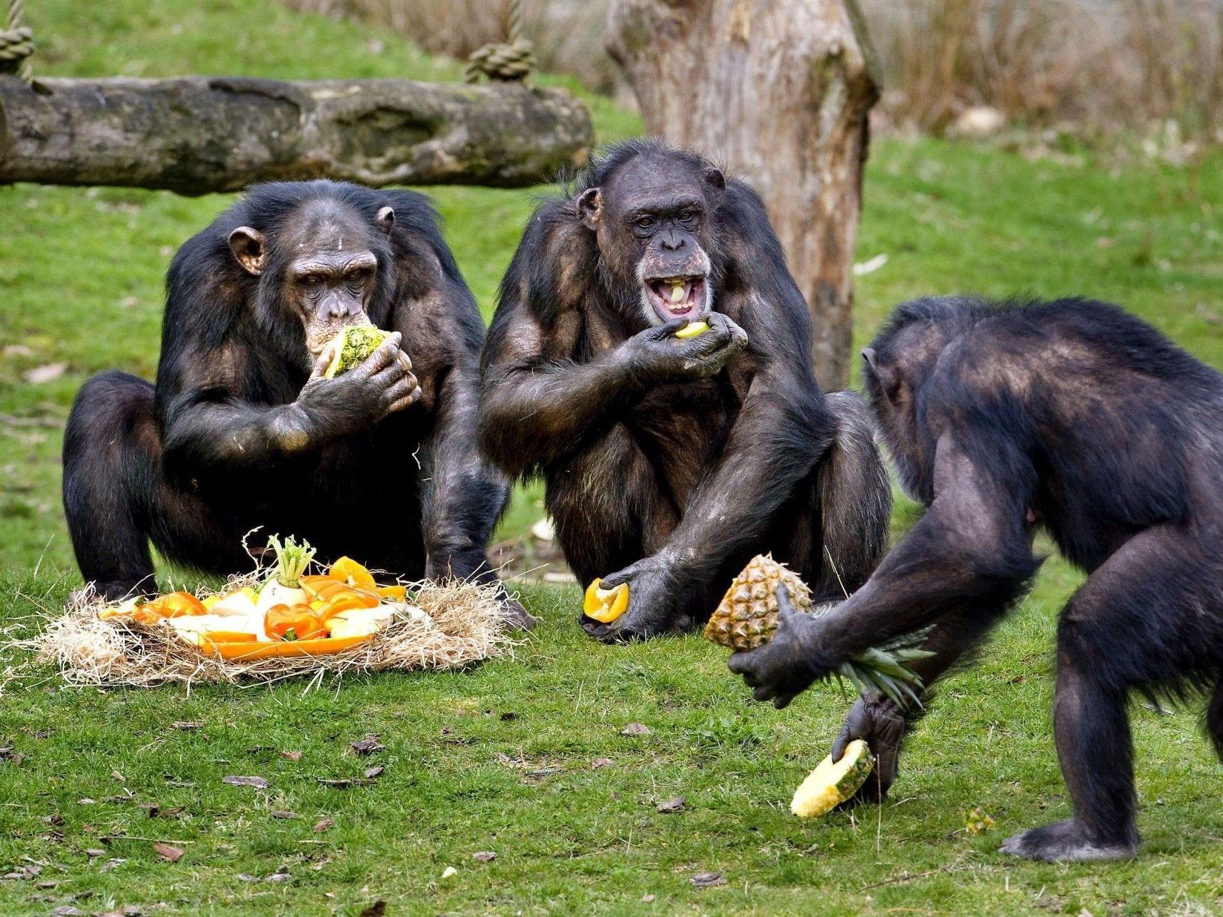 Wenn Schimpansen von einem Artgenossen bestohlen werden, wehren sie sich und bestrafen den Missetäter.