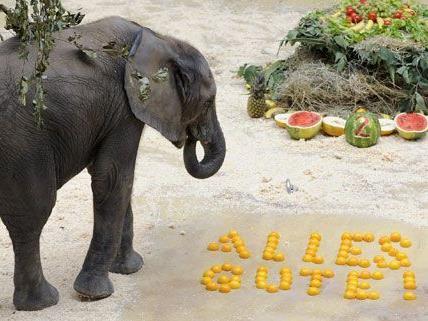 Sichtlicht erfreut war der zweifährige Elefantenbulle Tuluba über seine Torte.