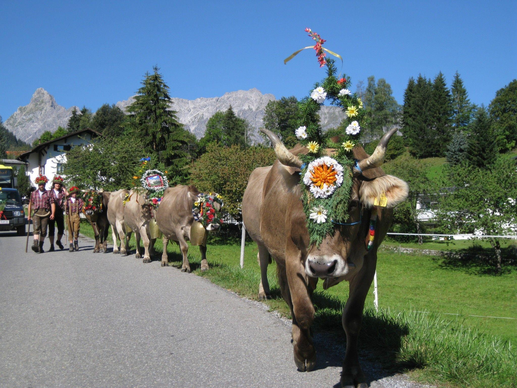 Traditionelles Brauchtum: Der Alpabtrieb - am 15. September von drei Alpen in Tschagguns.