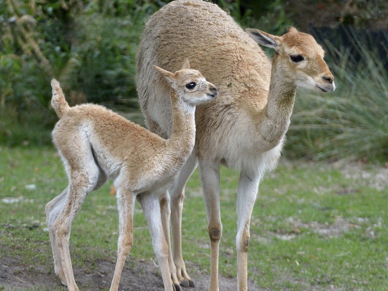 """Die """"Mini-Kamele"""" im Tiergarten Schönbrunn haben wieder Nachwuchs bekommen."""