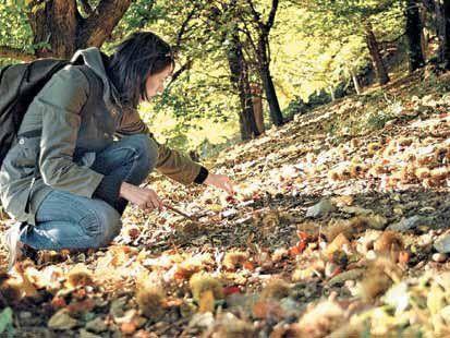 Keine Stecknadeln im Heuhaufen: Im Oktober sind die Kastanienwiesen mit kleinen Igeln übersät