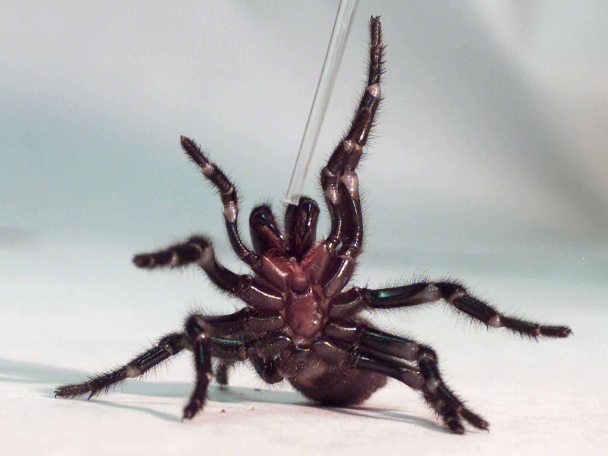 Es werden Hunderte Trichternetzspinnen benötigt, um sie zu melken und aus dem Serum das Gegengift herzustellen.