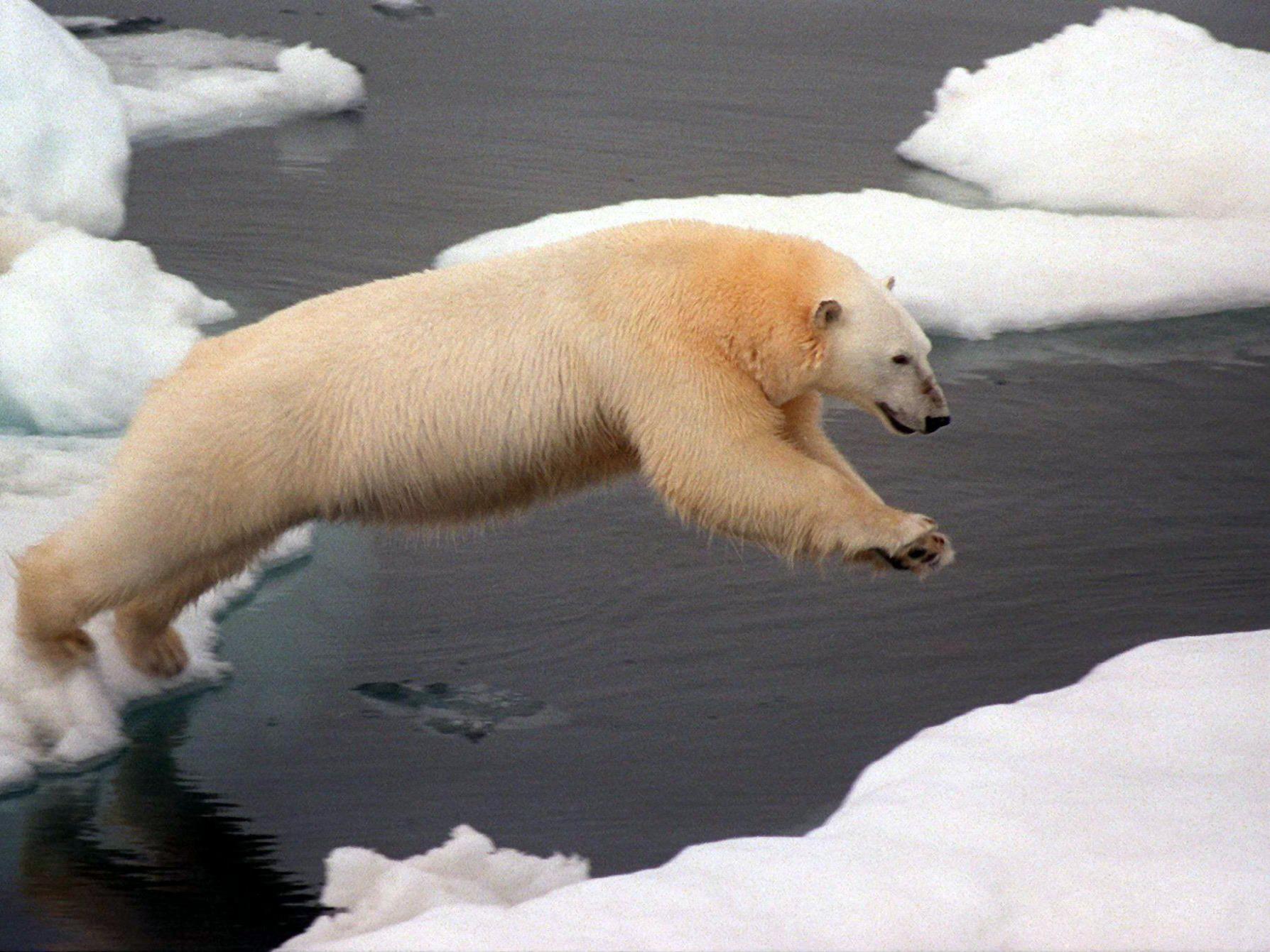 Ein Eisbär springt in der Arktis von einer Eisscholle zur anderen.