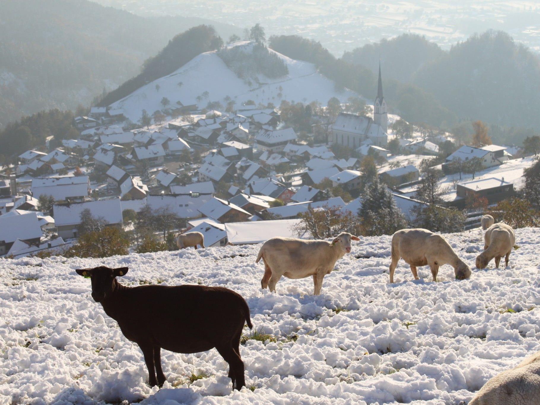 Das schwarze Schaf und seine helleren Artgenossen suchen ihr Futter zwischen der weißen Schneedecke.