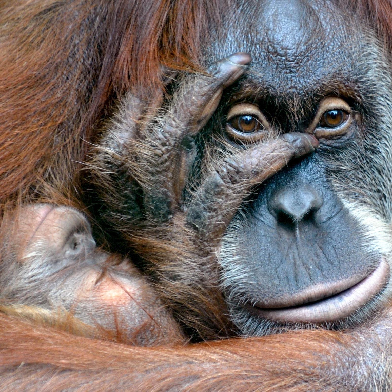 Mit Hilfe der britischen Orangutan Foundation seien die Kugeln entfernt worden, inzwischen gehe es dem Affen besser.