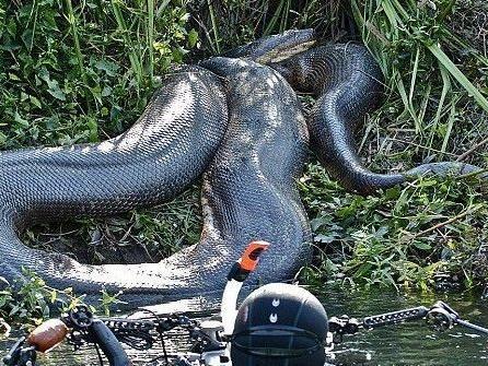 Der Familienvater staunte nicht schlecht, als er eine 8 Meter lange und 200 Kilogramm schwere Schlange erblickte.