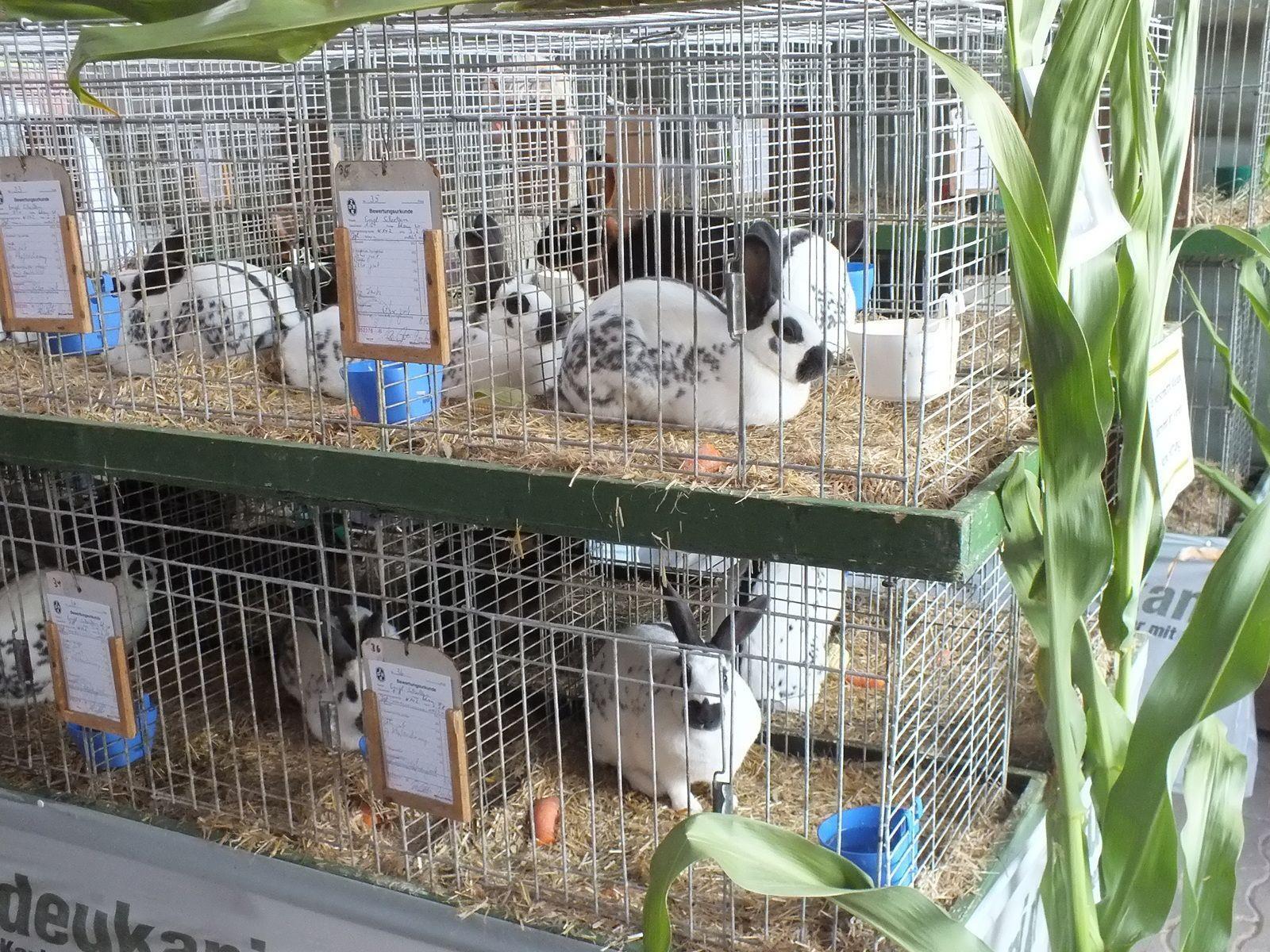 Zahlreiche Tierrassen können wieder bei der Landesausstellung der Kleintierzuchtvereine bewundert werden.