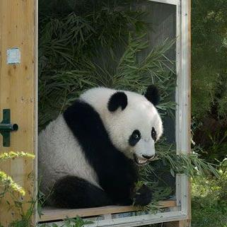 In einer Box auf dem Weg nach China: Panda Fu Hu verlässt Wien