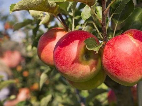 LR Schwärzler: Hohe Qualität im Obstbau auch heuer beständig.