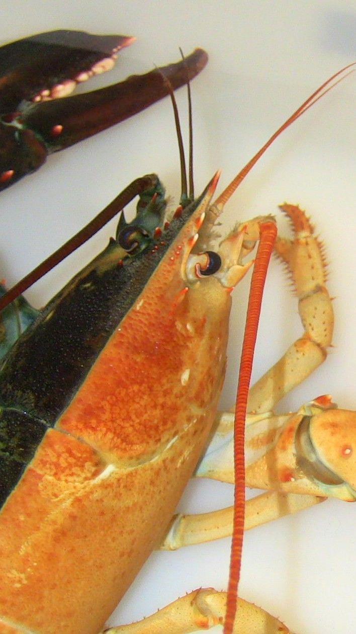 Krebstier fand Asyl in Bostoner Aquarium.