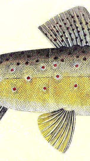 Ein altkolorierter Kupferstich aus dem Jahre 1783. Es ist erstaunlich, dass sich das Aussehen der Forellen in den 240 Jahren seither kaum verändert hat.