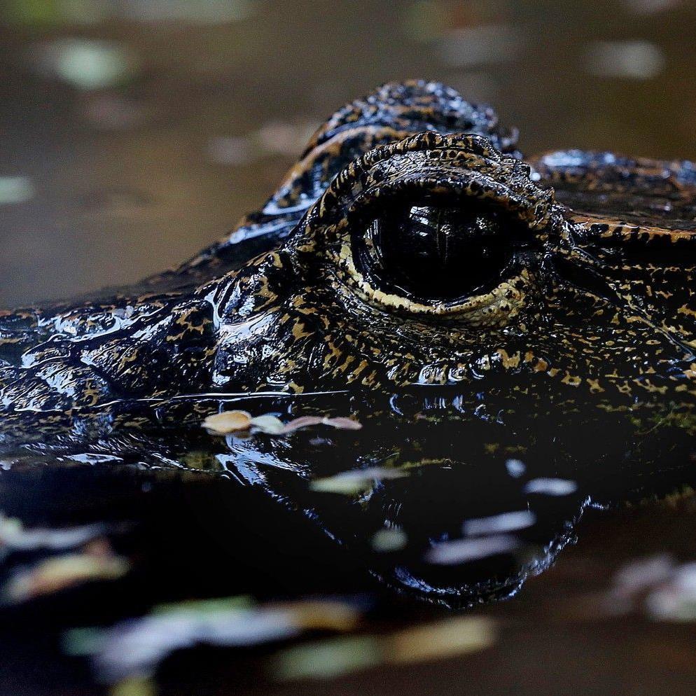 Als Baby entkommen, mit 1,70 Meter Länge wieder eingefangen. Ein Kloaken-Krokodil im Gaza-Streifen. (Symbolbild)