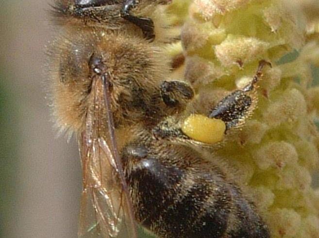 Der Bienenzuchtverein Blumenegg lädt zum 110-Jahrjubiläum mit Ambrosiusfeier.