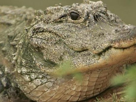 Wahrscheinlich haben die Fische den Alligator angelockt.