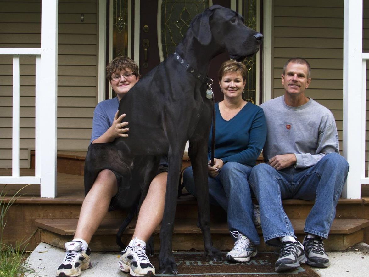 Auch Zeus, der größte Hund der Welt, ist im Guiness Buch der Rekorde zu finden.
