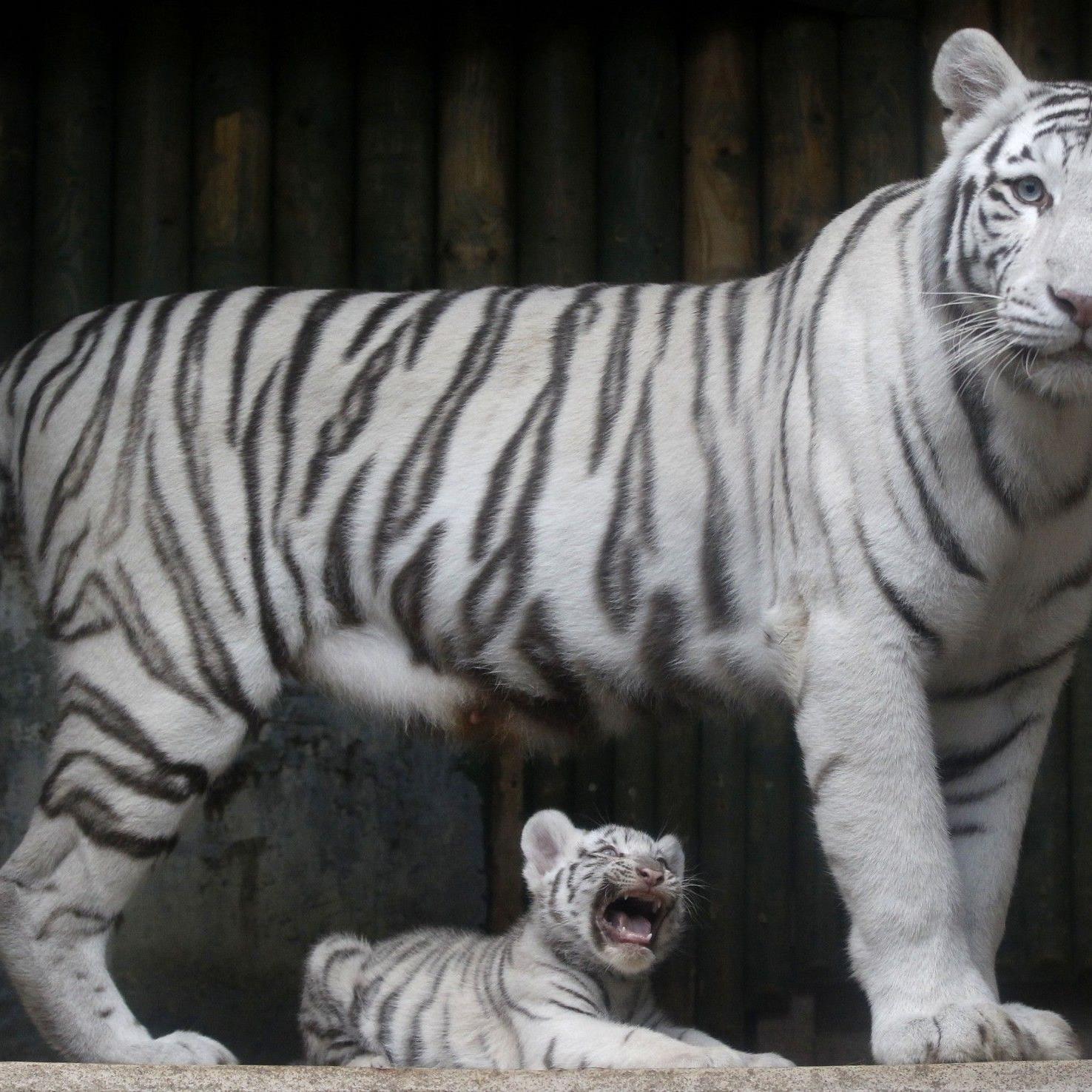 Nach der Attacke konnte der Tiger aus seinem Gehege fliehen.