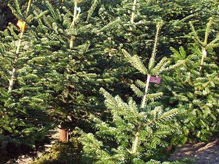 Auch in diesem Jahr gibt es viele Christbaumsammelstellen in Wien.